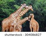 Giraffe Zoo - Fine Art prints