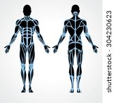 male muscular anatomy vector... | Shutterstock .eps vector #304230623