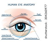 human eye anatomy illustration. ... | Shutterstock .eps vector #304260977