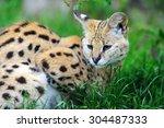 Serval Cat  Felis Serval ...