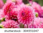 Pink Chrysanthemum In Flower...