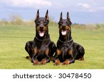 Two Black Dobermans Laying On...