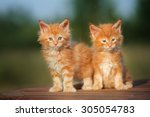 Stock photo two red maine coon kittens outdoors together 305054783