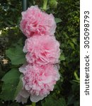 Small photo of Alcea rosea, pink, from the front, three blooms