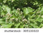Small photo of Acer tataricum, maple bloom at wild