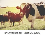 dairy cows at countryside ... | Shutterstock . vector #305201207