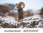 A Male Big Horn Sheep Peers...