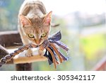 Stock photo singapura cat playing with a toy 305342117