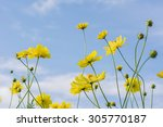 Yellow Cosmos Flowers With...