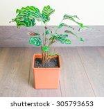 calathea makoyana over wood... | Shutterstock . vector #305793653