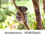 sleeping koala on eucalyptus... | Shutterstock . vector #305855663