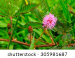 Pink Mimosa Flowers In A Field...