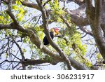 Small photo of Knobbed hornbill, Aceros cassidix, fed walled female on the nest at a height of approximately 25 m.Tangkoko National Park, Sulawesi, Indonesia