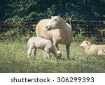Mother Sheep And Her Baby...