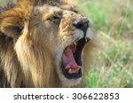 Closeup Portrait Of Roaring Lion