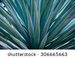 spiked agave   Shutterstock . vector #306665663