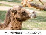 bactrian camel  camelus... | Shutterstock . vector #306666497
