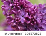 Branch With Spring Lilac...
