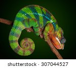 A Panther Chameleon Is Sleepin...
