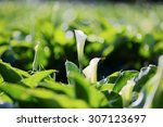 White Calla Lily Blooming In A...
