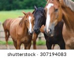 Wild Horses On The Meadow At...