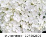 Beautiful Large White Hydrange...