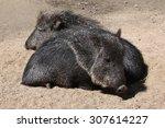 chacoan peccary  catagonus... | Shutterstock . vector #307614227