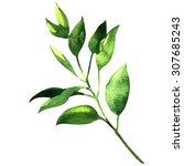 fresh branch of laurel ... | Shutterstock . vector #307685243