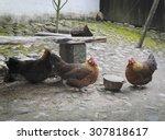 Three Chicken Drink Water In...
