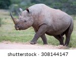 large male black rhino peering... | Shutterstock . vector #308144147