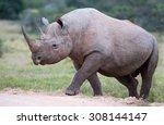 Large Male Black Rhino Peering...