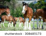 Clydesdale Buddies Taking Thei...