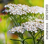 Small photo of Medicinal plant growing in Siberia Yarrow (Achillea millefolium), flowers large