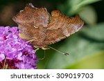 Eastern Comma Butterfly...