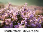 Detail Of A Flowering Heather...