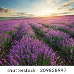 meadow of lavender. nature... | Shutterstock . vector #309828947