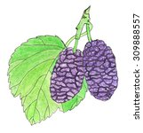 mulberry. hand drawn violet... | Shutterstock . vector #309888557