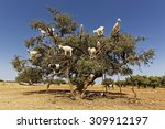 Argan Trees And The Goats On...