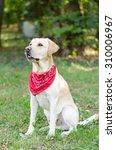 a labrador retriever in the park   Shutterstock . vector #310006967