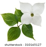 White Dogwood Flower Isolated...