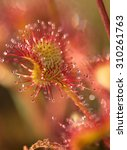 Sundew Leaf With Drops Closeup...