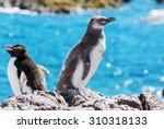Magellanic Penguin  Spheniscus...