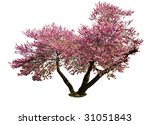 Isolated Pink Spring Bloom Tree