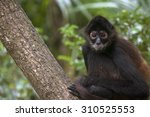 Spider Monkey Perched On A...