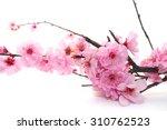 plum flowers blossom on white... | Shutterstock . vector #310762523