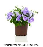 blue campanula terry flowers ...   Shutterstock . vector #311251493