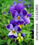 Close Up Of Two Blue Pansy...