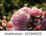 Stock photo garden roses outdoor at sunset light 311365223