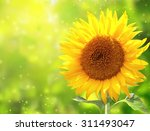 Bright Yellow Sunflower On...
