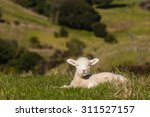 Basking Newborn Lamb